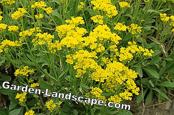 Gold Spurge - Plant, care & hibernate