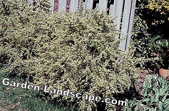 Harlequin willow - plants, care and pruning