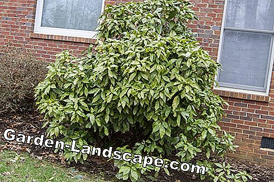 Japanese shrub - plants, care and overwinter