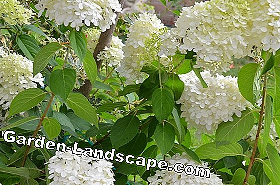 Farm hydrangea - plants, fertilize and cut