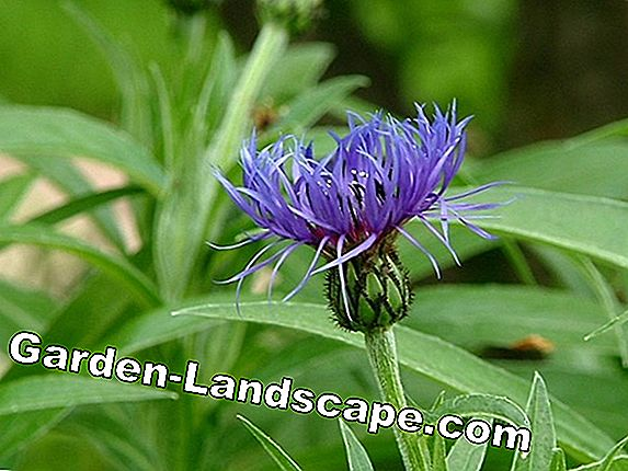 Mountain Knapweed - Plant, cultivate and multiply