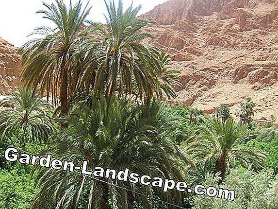 Planting a mountain palm - Important notes on location and soil