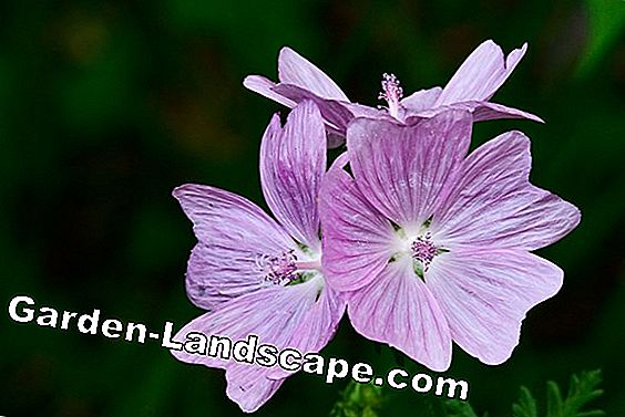 Musk Mallow 'Alba' - plants, care and pruning