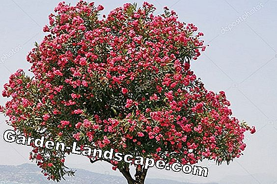 Oleander pour and fertilize - How to do it right