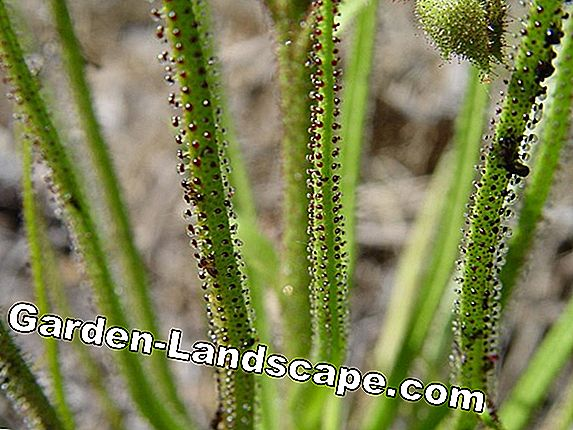 Sundew - planting, care and overwintering