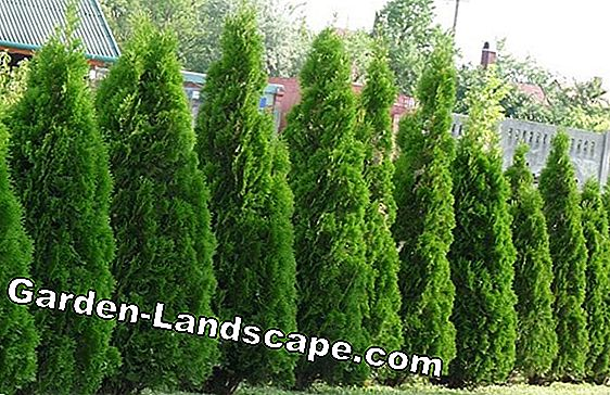 Thuja emerald - plants, fertilize and cut