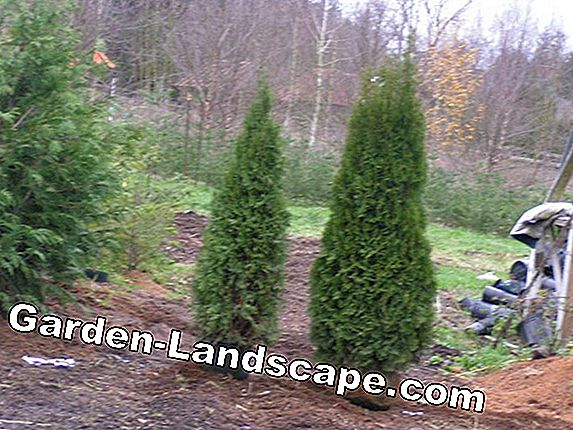 Transplant Thuja - Instructions & Tips