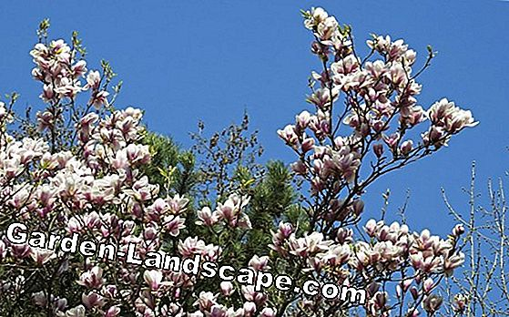 Tulip Magnolia: tips on location, soil and care