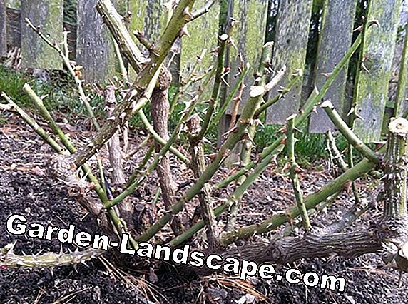 Cut lilac - pruning the lilac bush
