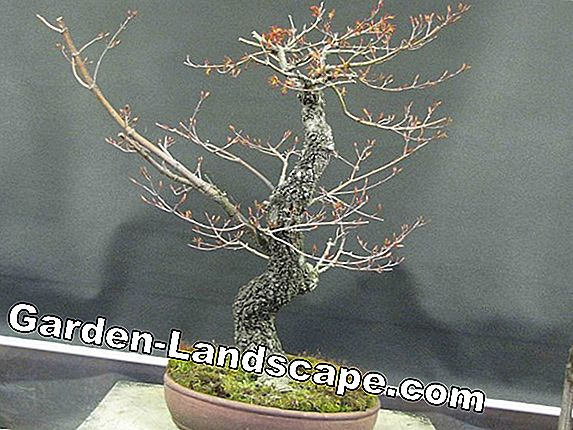 Maple as Bonsai - Care (Japanese Maple, Field Maple, Sycamore Maple)