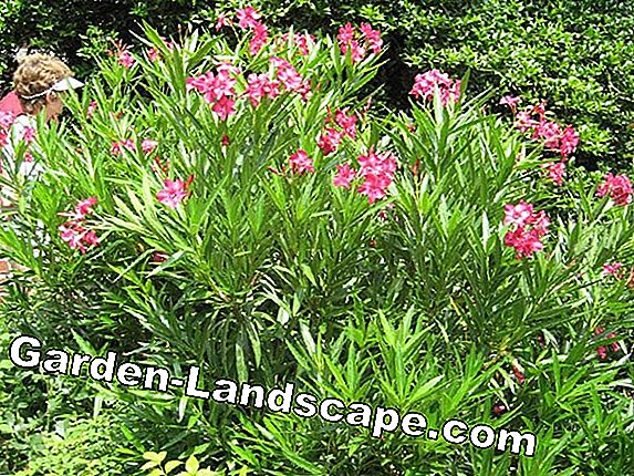 Oleander overwinter - Instructions & Tips