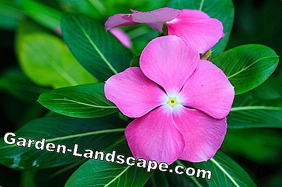 Periwinkle plant, Vinca species - planting distance and care