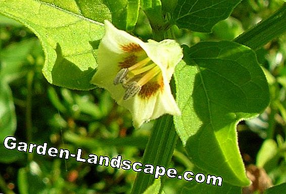 Winterize Physalis plants and cut properly