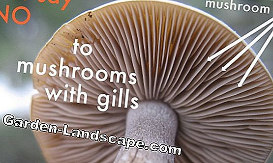 Popular mushrooms - Edible mushrooms recognize + photos