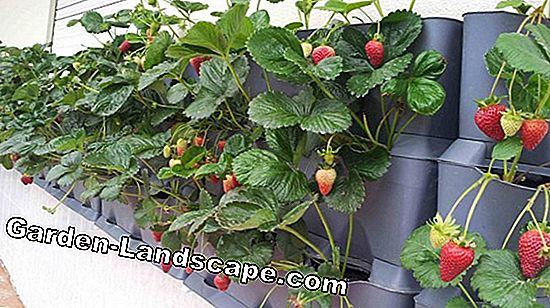 Strawberries on the balcony - care of strawberry plants