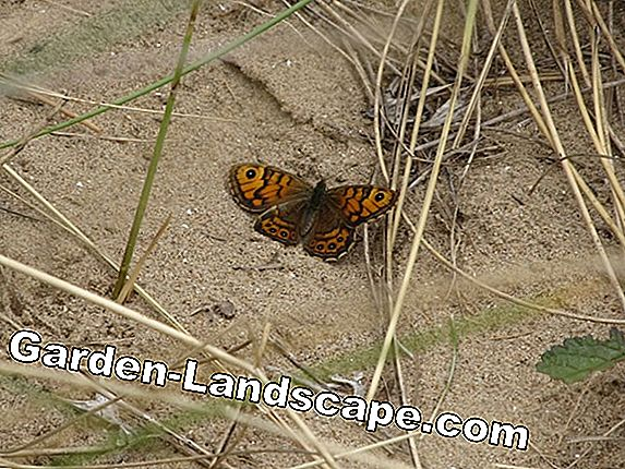 Breeding butterflies - tips for breeding butterflies