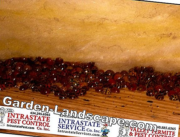 How do ladybugs winter? Do you hibernate?