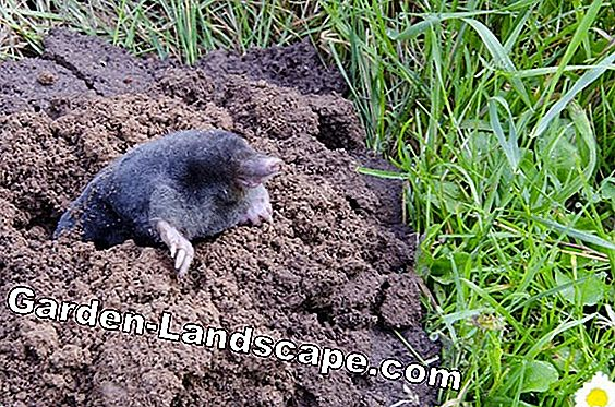 Remove molehills in the garden - but right!