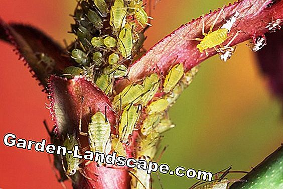 Aphids: species & different control methods