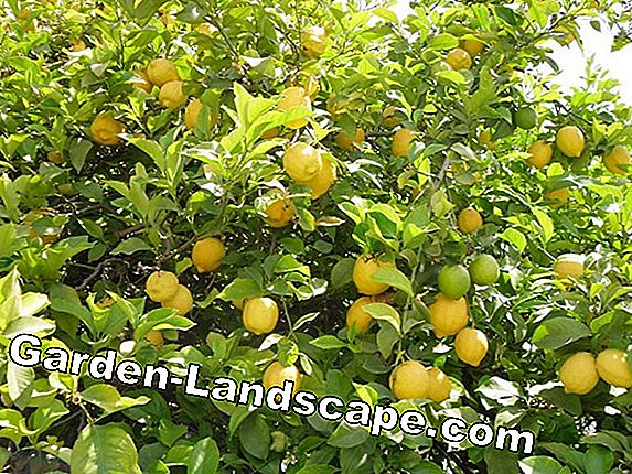 Citrus plants properly overwinter