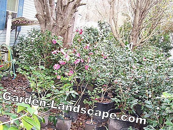 Citrus plants multiply by cuttings