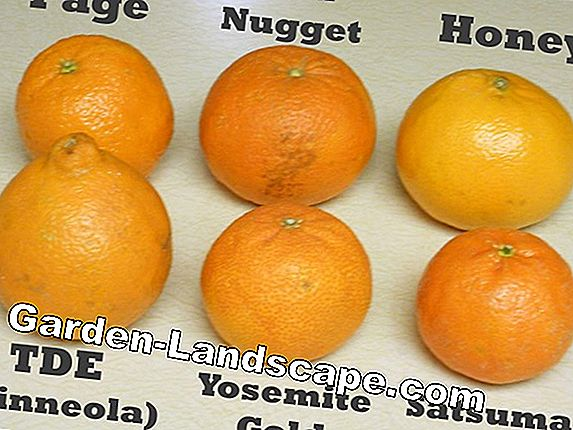 Mandarin or Clementine? The difference