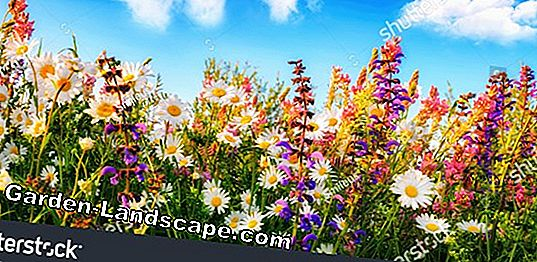 It is colorful: How to create a flower meadow