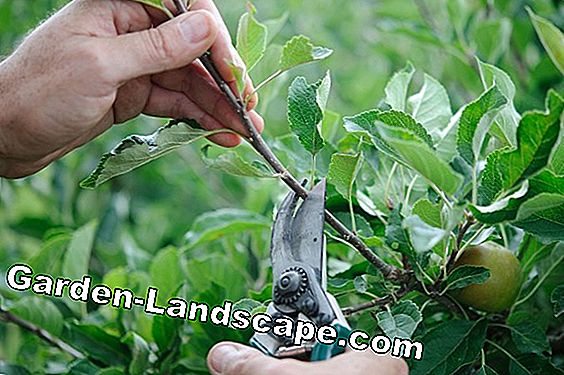Cutting fruit trees: 10 tips