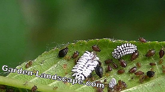 Fight aphids on the cherry tree - How to remove the black cherry aphid