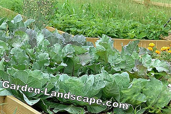Harvesting and storing savoy cabbage - you have to pay attention to everything