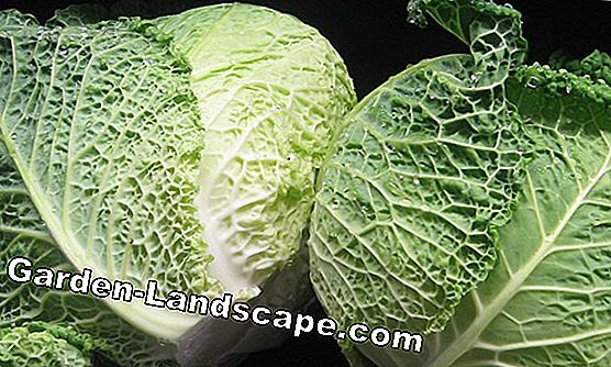 Savoy cabbage: detecting and controlling diseases and pests