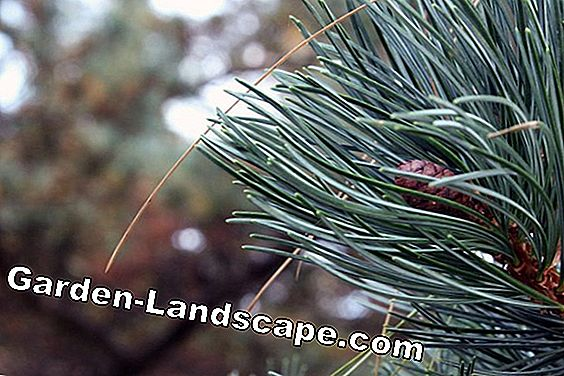 Blue maiden pine as bonsai - cutting, care