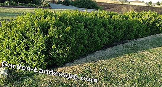 Boxwood square in a new guise