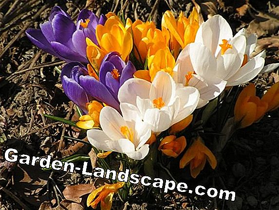 Flower bulbs: plant spring in autumn