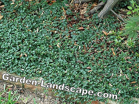 Ground cover for shady locations