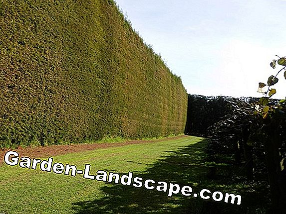 A hedge for bird protection