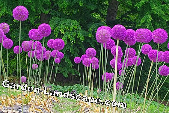 Plant ideas for onion flowers