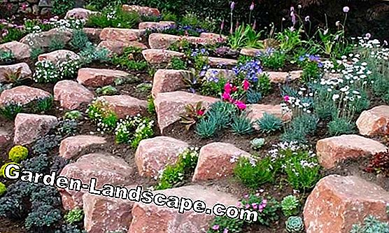 Plants and wall plants for rockeries