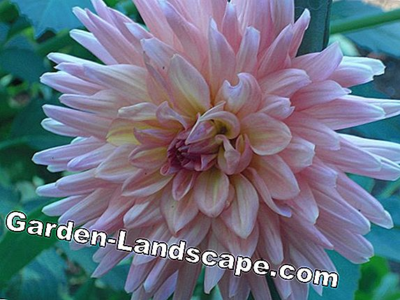 For replanting: dahlias in elegant accompaniment