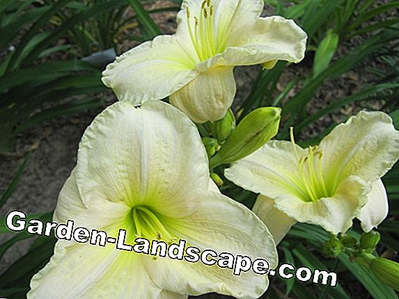 For replanting: Daylily bed in yellow and white
