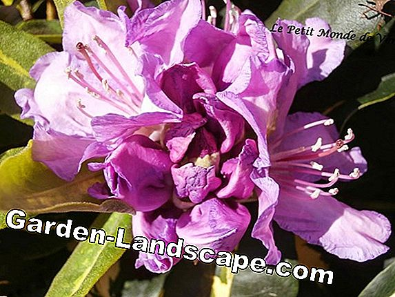 Rhododendron: courage to color