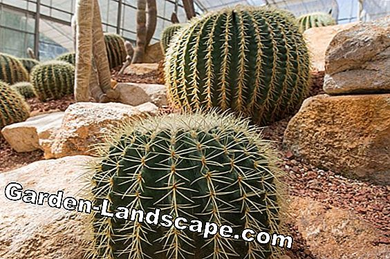 Rock garden: Hardy cacti and succulents in the garden