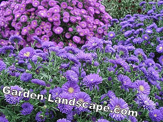 Hardy rock garden plants - List of perennial varieties