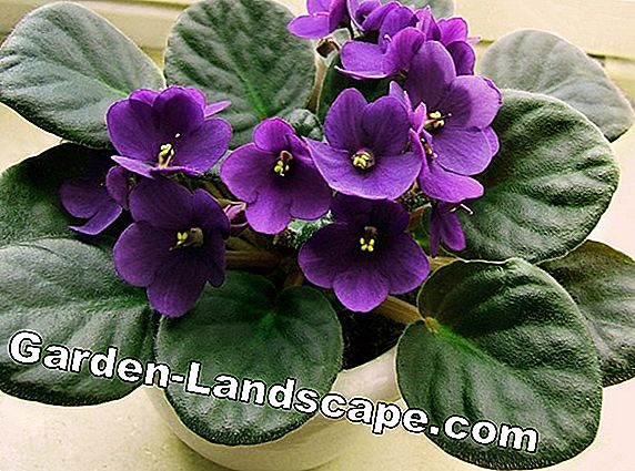 African Violet, Saintpaulia - care, propagate and flower