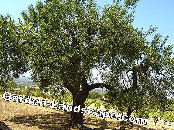 Almond tree, Prunus dulcis - care and cutting
