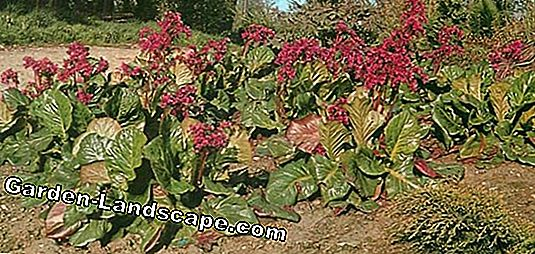 Bergenien, Bergenia - varieties and care instructions