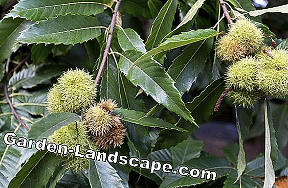 Chestnut tree, chestnut tree - care instructions