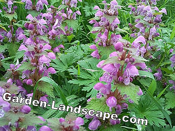 Deadnettle - white, red, yellow and spotted - care tips