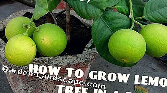 Keep lemon tree - all about care, fertilizing & common diseases