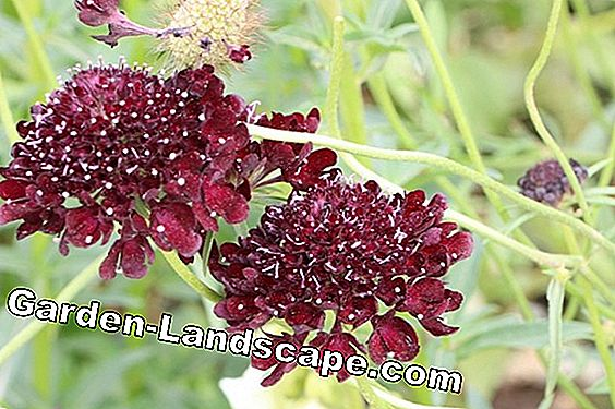 Scabious, Widow Flower - Planting and Care of Scabiosa